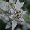 Lamiaceae - <br /> Pycnanthemum - Southern Mountainmint