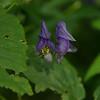Aconitum uncinatum - Southern Blue Monkshood
