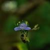 Commelinaceae - <br /> Tradescantia - Spiderwort