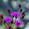Vernonia gigantea - Tall Ironweed