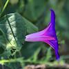 Ipomoea purpurea - Common Morning-Glory