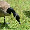 Branta canadensis - Canada Goose