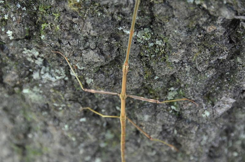 Phasmatodea - Walking Stick bug
