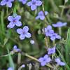 Rubiaceae - <br /> Houstonia caerulea - Bluets<br /> Dew covered Bluets