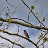 Sialia sialis  - Eastern Bluebird