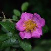 Rosa woodsii - Wild Rose, Woods Rose