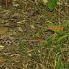 Agkistrodon contortrix - Copperhead