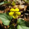 Viola hastata - Halberd-Leaf Violet