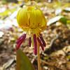 Erythronium americanum - Trout lily