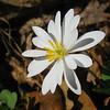 Papaveraceae - <br /> Sanguinaria canadensis - Bloodroot
