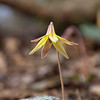 Erythronium americanum - Trout lily, Yellow trout lily, Yellow dogtooth violet
