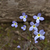 Rubiaceae - <br /> Houstonia caerulea - Bluets