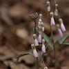 Portulacaceae - <br /> Claytonia virginica - Spring Beauty
