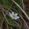Anemonella thalictroides - Rue-Anemone