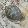 Terrapene carolina carolina - Eastern Box Turtle laying eggs