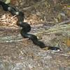 Pantherophis alleghaniensis - Eastern Ratsnake