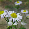 Erigeron annuus - Daisy Feabane, Eastern Daisy Fleabane
