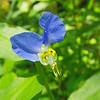 Commelinaceae - <br /> Commelina communis - Asiatic Dayflower