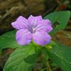 Acanthaceae - <br /> Ruellia strepens - Smooth Ruellia