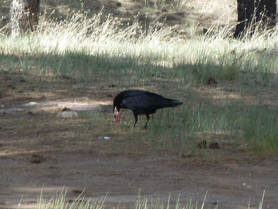 And a raven working on some garbage.