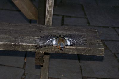 Chaffinch at the pub - it took off from the next seat just as I pressed the shutter control