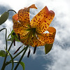 Center has the green star..... means Turks Cap Lily. We saw some today along Clingman's Dome Road that were 9 feet tall!