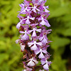 Large Purple Fringed Orchid along Clingmans Dome Rd past its prime.