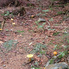 Forest floor along Forney Ridge  trail is dotted with bold yellow mushrooms.