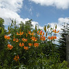 Turks Cap Lilies against a blue blue sky at Clingman's Dome.