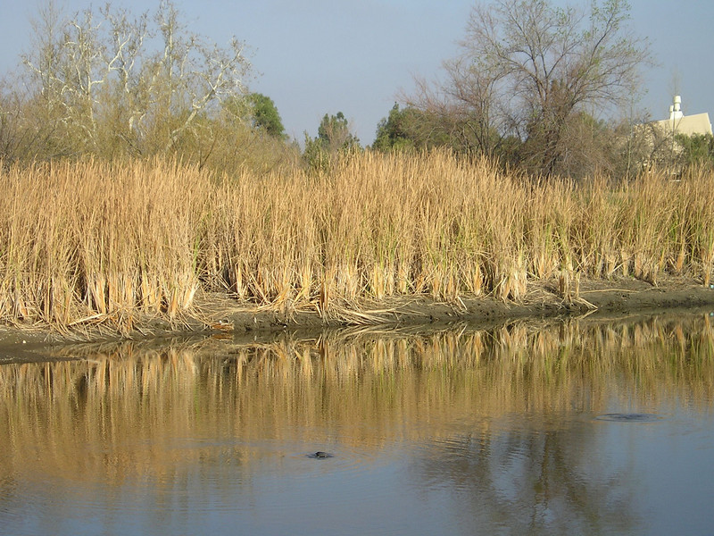Creekside reeds reflecting in the river. With diving coot tail in the foreground.