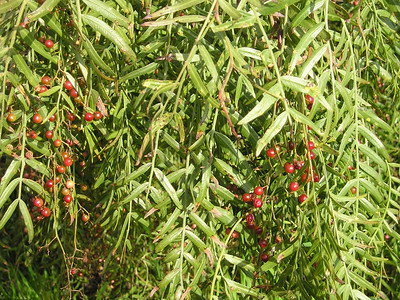 Berries and leaves on a creekside shrub