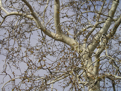 Springtime begins. This tree is just beginning to bud.