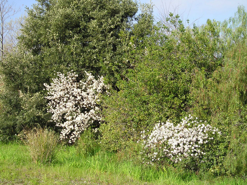 Flowering shrubs, another sign of spring, along the riverbank.