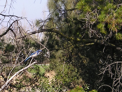 Scrub jay, cropped from the other photo (didn't have my telephoto lens with e).