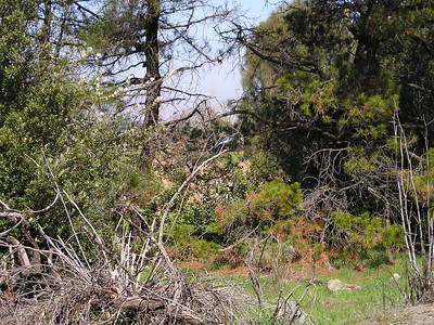 Scrub jay atop a downed snag. Can barely see him here in the small version, a fleck of blue in the very center of the photo on the tallest dead branch.