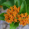 Apocynaceae - <br /> Asclepias tuberosa - Butterfly Weed