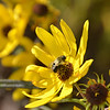 Silphium asteriscus - Starry/Whorled Rosinweed