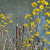 Silphium asteriscus - Starry/Whorled Rosinweed and Cattails