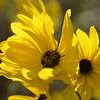 Silphium asteriscus - Starry/Whorled Rosinweed