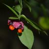 Euonymus americanus - Strawberry Bush