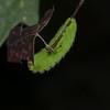 Antheraea polyphemus - Polyphemus Moth