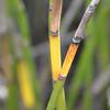 Equisetum fluviatile - Horsetail Ree