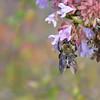 Abelia chinensis - Raspberry Profusion