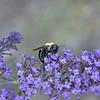 Buddleia davidii - Butterfly Bush