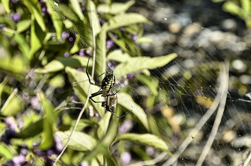 Argiope aurantia - Yellow Garden spider