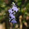 Campanulaceae - <br /> Lobelia kalmii - Brook Lobelia