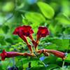 Campsis radicans - Trumpet Vine