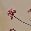 Red Maple tree buds