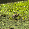Butorides virescens - Green Heron-Female