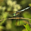 Pachydiplax longipennis - Blue Dasher - Adult Male